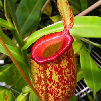 35 Nepenthes Flytrap Seeds + Nutrition Soil Package, Venus Carnivorous Plant Family Garden Potted Balcony Interesting DIY Gift