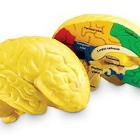 Learning Resources Cross-section Brain Model