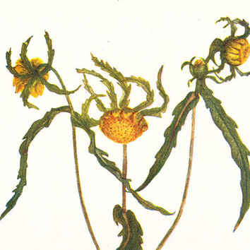 Bur-Marigold, Vintage Botanical Print - Flower Picture - Original Antique Bookplate