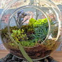 JUMBO Air Plant and Moss Terrarium - A Unique Birthday or Holiday Gift