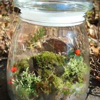 Woodland Mossy Lichen TERRARIUM kit...New England Style-jar included