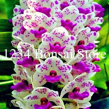 Big Sale!100 pcs Rare Cymbidium orchid Plants African Cymbidiums Plantas,Phalaenopsis bonsai flower Seedling for home garden pot