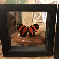 Framed Callicore Butterfly