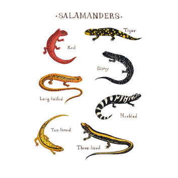 Salamanders Field Guide Art Print