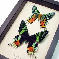 Mother's Day Gift Best Seller 18 Years Madagascar Sunset Moth Pair 1072