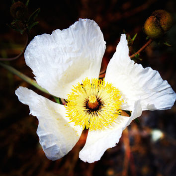 Summer Flower | Botanical Wall Art | Nature Photography | White | Yellow | Garden | Botanical Photography | Flower Photo