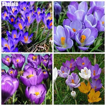 Purple Saffron Seed Crocus Balcony Bonsai Potted Plant Seed Heat Tolerant, Not Saffron Bulbs, Perennial Garden Flowers 50 Pcs