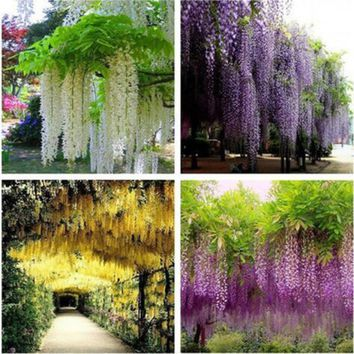 20 seeds/Pack Wisteria Seeds Bonsai Wisteria Tree Indoor Ornamental Flower Plants