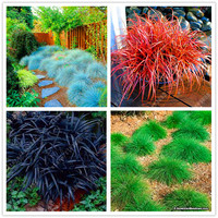 100 pcs/bag Fescue Grass Seeds - (Festuca glauca) perennial hardy ornamental grass seeds plant pot flower for home garden