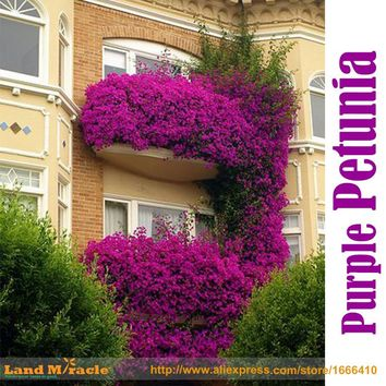 200 Seed/Pack 100% True Hanging Purple Petunia Flower Seed, Fragrant Ornamental Flowers