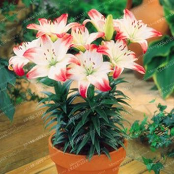 100pcs Peruvian Lily Seeds,Lily Flower (not lily bulbs),lilium flower seeds,Faint scent,bonsai pot plant for home garden plants