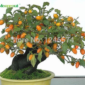 20 Persimmon Seeds, Diospyros Kaki, Exotic Bonsai, Beautiful & Delicious Fruit Tree, Fruit seeds