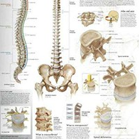 Understanding the Spine chart: Laminated Wall Chart