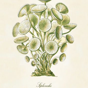 Vintage Natural History Giclee Art Print: Ernst Haeckel Green Algae Scientific Illustration Art Print - Victorian Era - Home And Garden