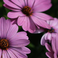 Deep Violet Purple African Daisy Poster by Colleen Cornelius