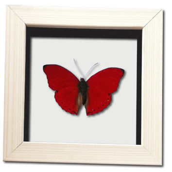 Real Red Heart Butterfly Framed Display