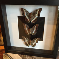Triple Mounted Charaxes Brutus