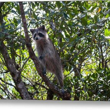 Raccoon - Metal Print