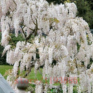 10 pcs/bag Wisteria seeds perennial wisteria tree white pink purple blue wisteria plants bonsai pot flower seeds for home garden