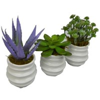 Succulent Trio in White Pots