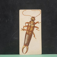 Vintage Earwig Flash Card Insect Color Illustration Paper Ephemera Art Decor Nature Bugs Collage Crafts Supply