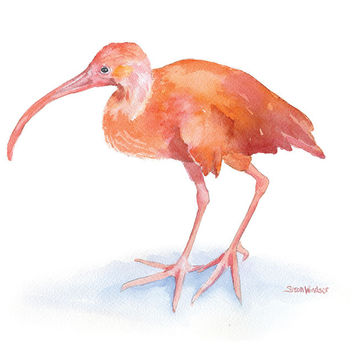Scarlet Ibis Watercolor