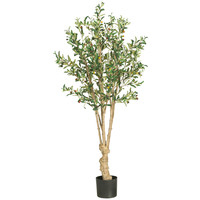 5 foot Olive Tree: Potted