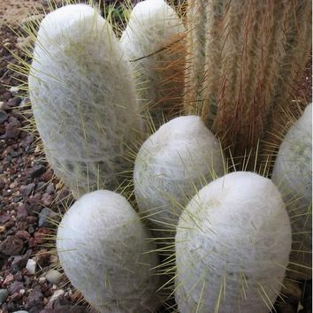 Peruvian Old Man Cactus Seeds (Espostoa laticornua) 20+Seeds