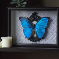 Menelaus Blue Morpho- Museum Glass Shadow Frame Display - Insect Bug Oddity Curiosity Art
