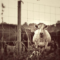 White cow photograph. Farm pasture dreamy vintage rustic sepia tone. Brown, white, cream, beige 8x8 art print.