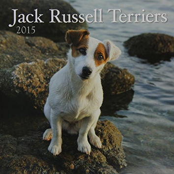 Avalanche January to December, 12 x 24 Inches, Perfect Timing Jack Russell Terriers 2015 Wall Calendar (7001622)