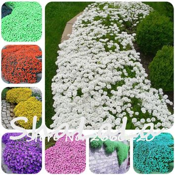 100 Pcs Mix Colorful ROCK CRESS or Creeping Thyme Seeds - Perennial Groundcover Lawn Flower, Foliage Plant for Home Garden Decor