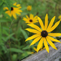 Black Eyed Susan Print - Yellow Flower - Nature Photography
