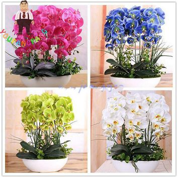 100pcs Phalaenopsis Orchid plants Bonsai Hydroponic Flower plants For Four Seasons Potted Plants * Jardin Garden Flores Sementes