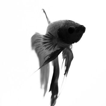 Siamese Ink - Betta Fish - Fine Art - Black and White - Photography - Gift Idea - Fish - Ink Impressions - Pen Art - Black Ink - Pen Drawing