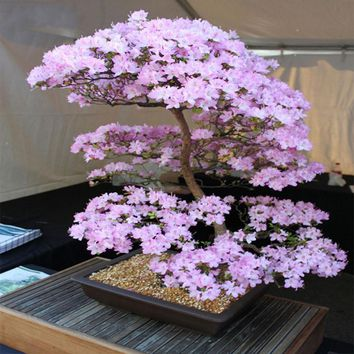Japanese Sakura Seeds Bonsai Flower Cherry Seeds Blossoms Cherry Tree Ornamental Plant 10 pcs/pack Home Garden Bonsai