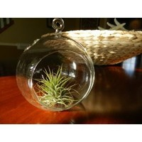 Hanging Glass Globe Terrarium with Air Plant Sweet Little House Plant for Home or Office By...