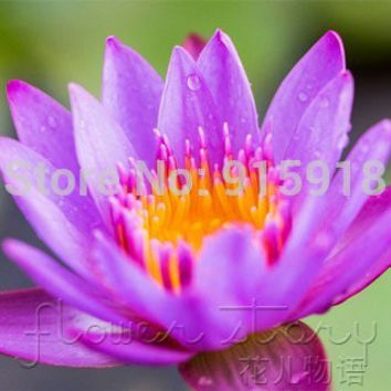 FREE SHIPPING 10 SEED Purple Daisy Fairy Lotus Seeds Gorgeous Aquatic Plants Label: Lotus13