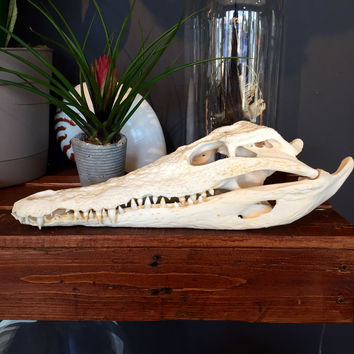 Nile Crocodile Skull 9""