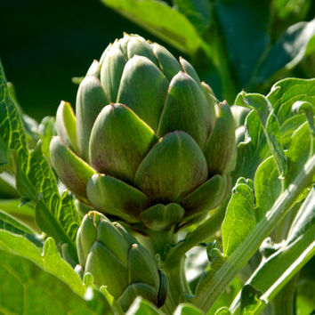 4 Artichoke Seeds | Cynara Scolymus | Unique Heirloom Organic Flower Buds Vegetables Herb Medicine Perennial Home Garden Plant Decor DIY