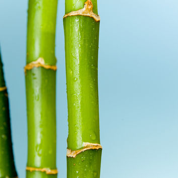 Bamboo over blue background wall Mural