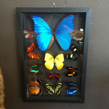 Double Glass Butterfly Collection