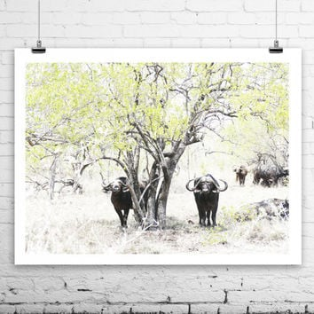 Buffalos, Wildlife photography from South Africa