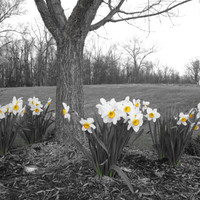 """Daffodil Tree Photo, 8X10,  """"Spring is Here"""""""