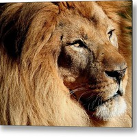 Fabio The King Of Lions Metal Print