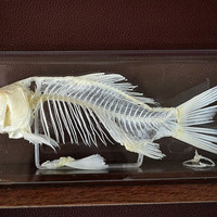 Real Genuine  Fish Skeleton, Fish Bone mounted on display case, birth/christmas gift