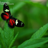 Real Red Doris Longwing Butterfly Photography Print