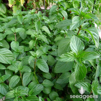 Lemon Basil Herb Heirloom Seeds - Non-GMO, Open Pollinated, Untreated