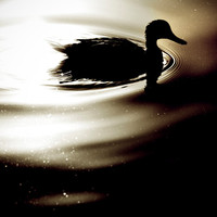 Duck photography, fine art photography, black and white, animal photography, nature, minimalist, framed print, oversized print, calming, zen