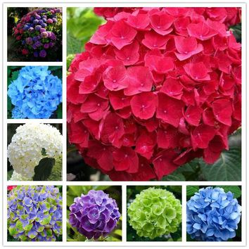 20 pcs Bag hydrangea seed mixed seeds China hydrangea flower seeds bonsai seeds for home garden plants